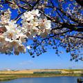 Photos: 渡良瀬旧川の桜3