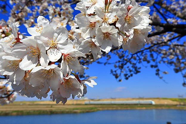渡良瀬旧川の桜4