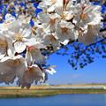 Photos: 渡良瀬旧川の桜4