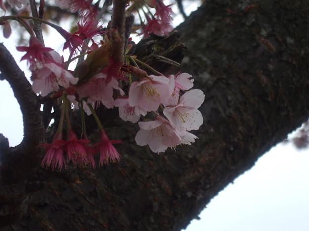 069 休憩スポットの河津桜