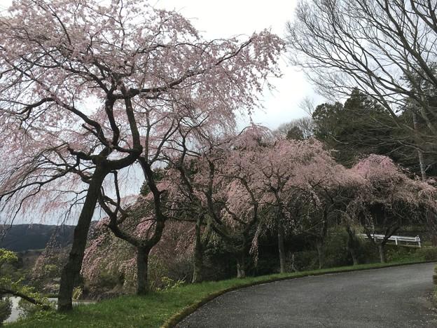 仕事中に見つけた桜