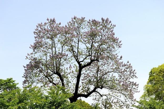 「桐の花」京都・上賀茂神社 2017/05/08