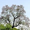 写真: 「桐の花」京都・上賀茂神社 2017/05/08