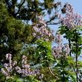 写真: 「桐の花」馬見丘陵公園 2018/04/28