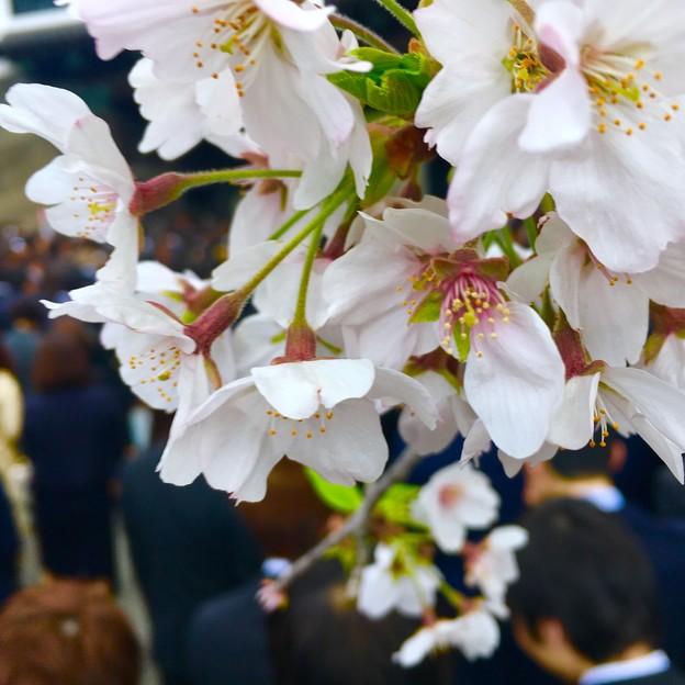 写真: 人混みの桜