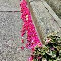 Photos: 花びら