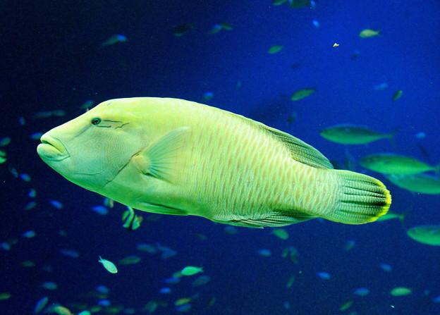 眼鏡持ちの魚