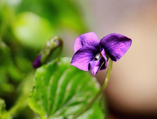 写真: ナポレオンも愛した花