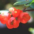 写真: まだ~咲き残る~