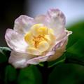 写真: 夏に咲く~