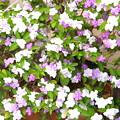 一本の木から三色の花