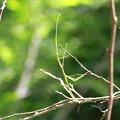 写真: 枝になりきって~