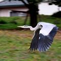 写真: 飛翔
