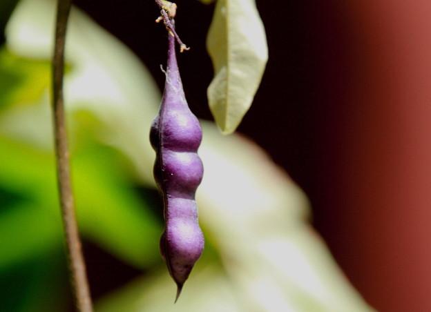 紫色のサヤ