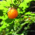 写真: カジイチゴ