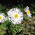 写真: 春紫苑