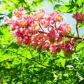 写真: 紅花栃の木