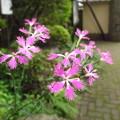 Photos: ナデシコ