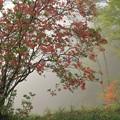 写真: 朝靄のヤマツツジ