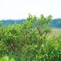写真: サロベツの野鳥♪
