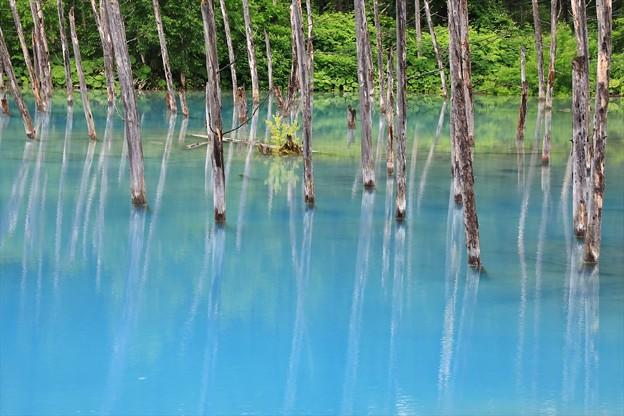 写真: 新緑の青い池