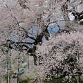 桜満開ローカル線♪