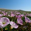 写真: 海辺の花