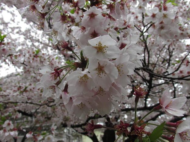 0903区役所桜3