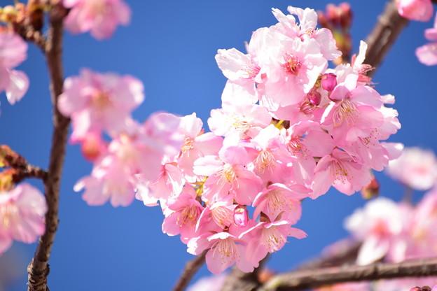 Photos: 青空に春告げる