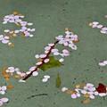 写真: 水面の桜アート