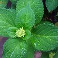 Baby of the Hydrangea