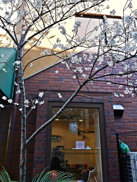 路地裏の桜下美人