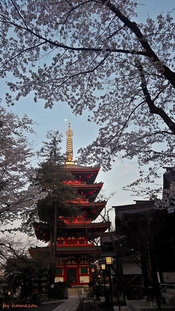 写真: 月見桜