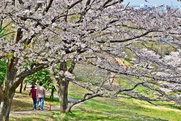 Photos: 桜の小路