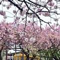 写真: 八重桜の都電