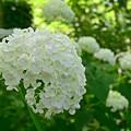 写真: White Hydrangea