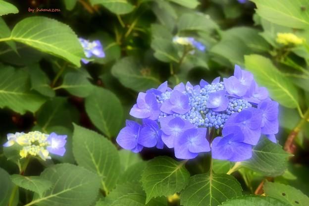 Photos: あじさいの花