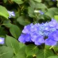 写真: あじさいの花