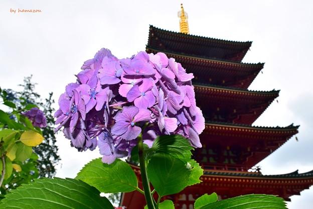 梅雨空の紫陽花