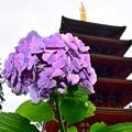 写真: 梅雨空の紫陽花