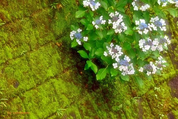 写真: 石垣の紫陽花