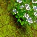 石垣の紫陽花