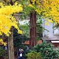 写真: 銀杏の木の下で(2)