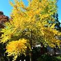 写真: 銀杏の木の下で(3)