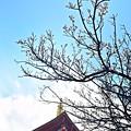 五重塔の白梅