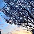 写真: 朝焼け桜