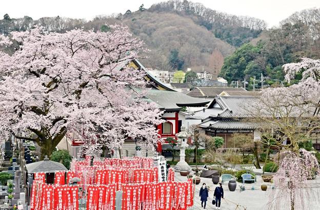 彼岸桜と枝垂れ桜