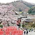 写真: 彼岸桜と枝垂れ桜