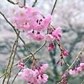 花冷えの枝垂れ桜