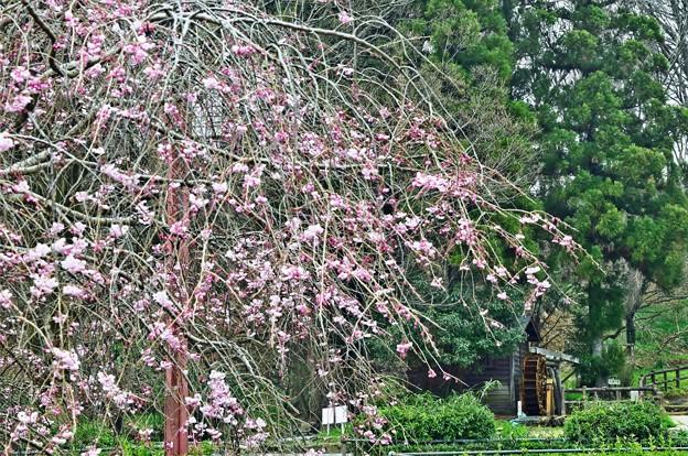水車小屋と枝垂れ桜